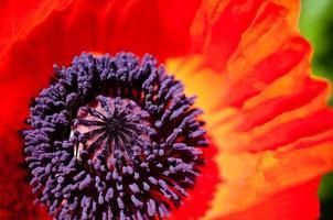 oosterse poppy detail foto