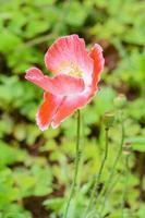 roze bloem foto