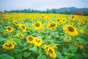 zon bloemen foto