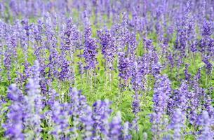 lavendel bloemen foto
