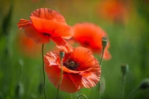 klaproos bloemen foto