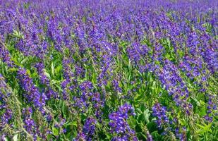 paarse bloem foto