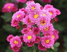 chrysanten bloemen foto