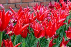 bloedrode tulp foto