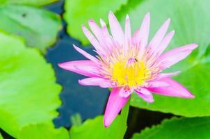 lotusbloem