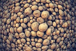 rauwe aardappelen, solanum tuberosum l foto