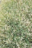 jasknopen bloem foto