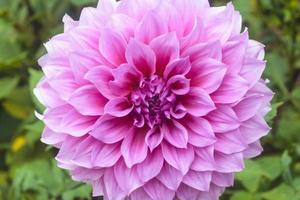 dahlia bloemen foto