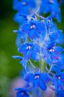 blauwe bloemen foto