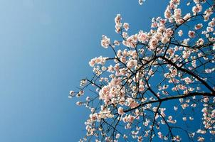 kersen bloemen