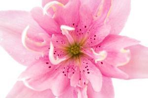 Lelie bloem