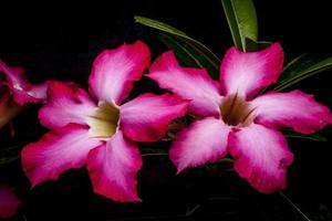 azalea bloem foto