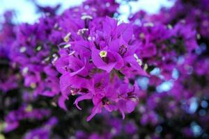 close-up tot paars violet foto