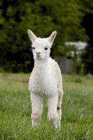 baby alpaca foto