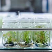 weefselkweek van planten foto