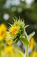 zonnebloemen in lopburi, thailand foto