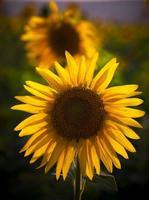 zon bloem foto