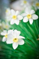 prachtige witte en gele narcissen. gele en witte narcis foto