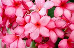 roze plumeria foto