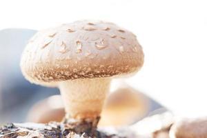 Shiitake-paddenstoelen worden op de traditionele biologische manier geteeld foto
