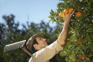 boer oogsten sinaasappelen in boerderij foto