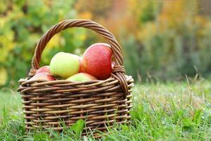mand vol met appels op boomgaard foto