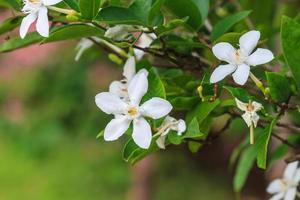 gardenia bloem foto