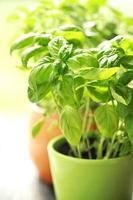 biologische verse groene basilicum foto