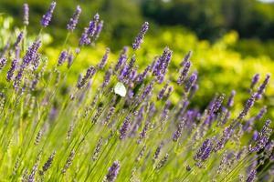 gebied van verse lavendel foto