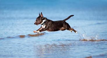 miniatuur Engelse bull terrier-hond die boven water springt foto