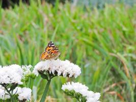 vlinder op witte bloem foto