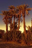 dadelpalmen met zonsondergang in marokko, afrika foto