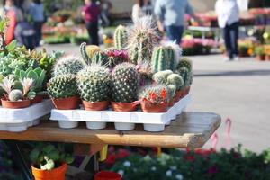 bloeiende cactus foto