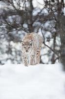 Europese lynx die in de sneeuw loopt foto