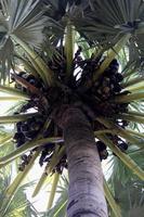 Aziatische palmyra palm foto
