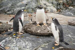 drie pinguïns foto