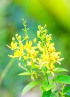 tristellateia australasica, malpighiaceae, eilanden in de Stille Oceaan foto