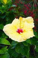 gele hibiscus foto