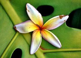 Hawaiiaanse sterbloem op groene installatie foto
