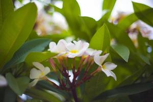 frangipani bloemen en bladeren foto