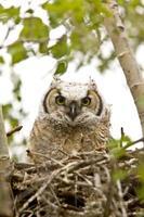 grote hoornuil in nest foto