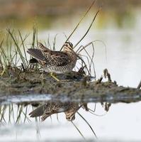 wilson's watersnip foerageren foto