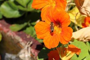 """""""Aziatische globeflower"""" - trollius asiaticus foto"""