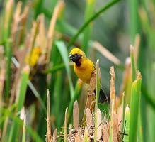 Aziatische gouden wever (mannelijk) foto