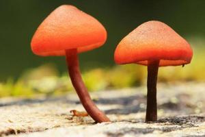kleine oranje champignons, yoho national park, canada