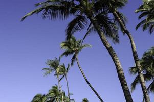 kailua-kona palmbomen foto