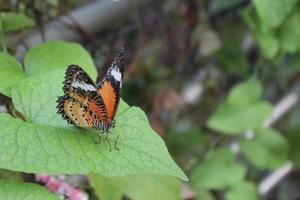 Aziatische vlinders foto