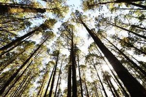 zeer hoog dennenbos foto