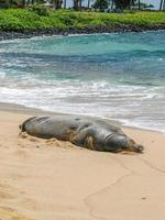 Hawaiiaanse monniksrob foto