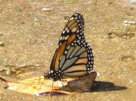 vlinder in Hawaï foto